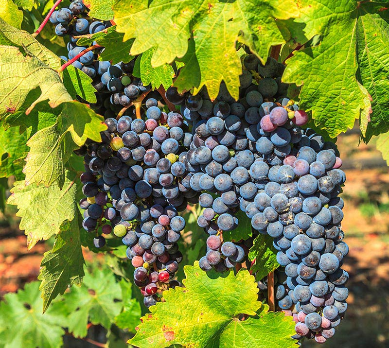 Sonoma Valley Wineries in California